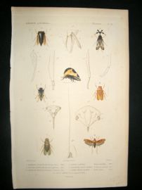 Cuvier C1840 Antique Hand Col Print. Insects 98